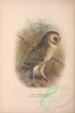 owls-00371 - 038-Northern Chestnut-faced owl, tyto melvillensis