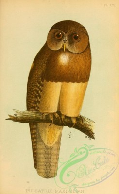 owls-00395 - pulsatrix maximiliani