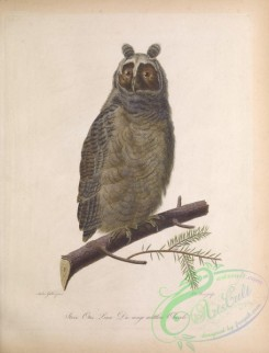 owls-00415 - Long-eared Owl, strix otus, 2