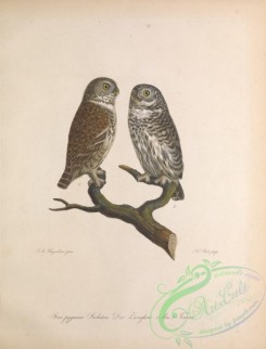 owls-00420 - strix pygmaea