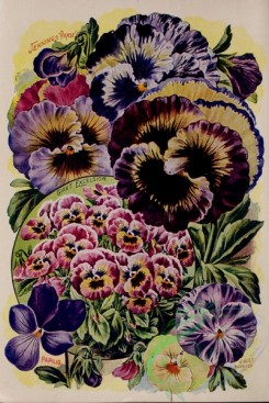 pansy-00086 - 152163 - 041-pansy