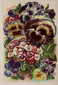 pansy-00091 - 152227 - 039-Pansy