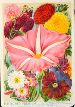 pansy-00093 - 152307 - 079-Sweet Peas, Dahlia, Moonflower, Pansies, Primrose