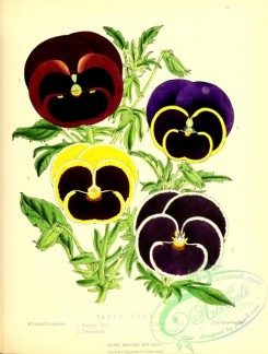 pansy-00346 - Fancy Pansies