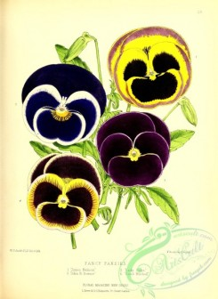 pansy-00348 - Fancy Pansies