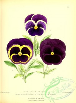 pansy-00349 - Fancy Pansies