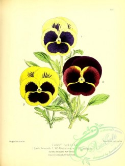 pansy-00350 - fancy pansies