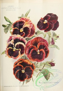 pansy-00360 - High Grade Fancy Pansies