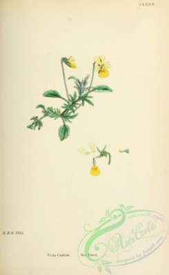 pansy-00369 - Sea Pansy, viola curtisii