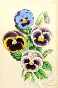 pansy-00386 - Pansies Fancy
