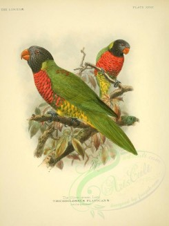 parrots_birds-00034 - Olive-green Lory [2615x3488]