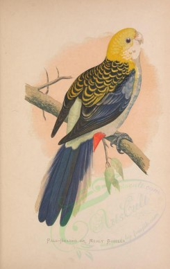parrots_birds-00172 - PALE-HEADED OR MEALY ROSELLA [2378x3758]