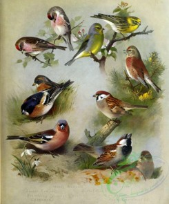 passerines-00067 - Mealy Redpoll, Lesser Redpoll, Brambling, Chaffinch, Citril Finch, Serin, Linnet, Tree Sparrow, House Sparrow