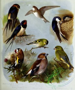 passerines-00072 - Red-rumped Swallow, Swallow, Goldfinch, Sand Martin, Siskin, Hawfinch, Martin, Greenfinch
