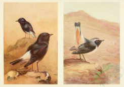 passerines-00105 - Copy of WHITE-RUMPED CHAT, ROSY CHAT