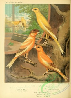 passerines-00198 - Evenly Marked Crested Buff Cinnamon Canary, Evenly Marked Yellow Canary