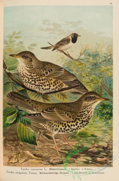 passerines-00404 - Mistle Thrush, turdus viscivorus, Black-throated Thrush, turdus atrigularis