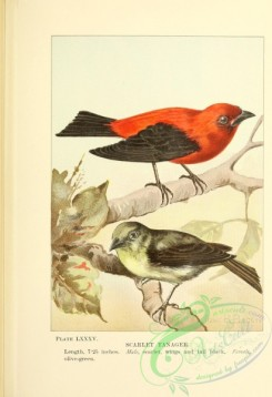passerines-00502 - 085-Scarlet Tanager