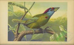passerines-00531 - Blue-cheeked Barbet, megalaima asiatica