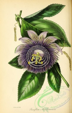 passiflora-00002 - Mr Middleton's Passion-flower, passiflora middletoniana [2857x4455]