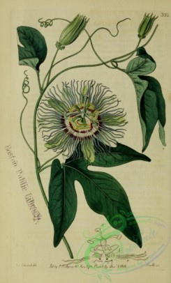passiflora-00009 - North American flesh-coloured Passion-flower or May-Apple, passiflora incarnata [2630x4359]