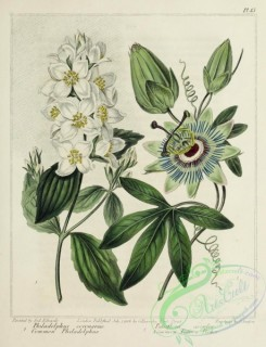 passiflora-00020 - Common Philadelphus, Common Passion Flower, philadelphus coronarius, passiflora caerulea [2654x3468]