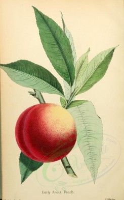 peach-00016 - Early Ascot Peach [2206x3534]