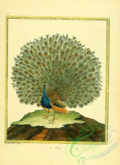 peacocks_and_pheasants-00007 - Peacock