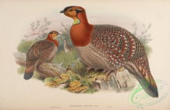 peacocks_and_pheasants-00037 - Blyth's Horned Pheasant