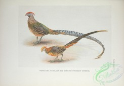 peacocks_and_pheasants-00077 - Golden and Amherst Pheasant Hybrids