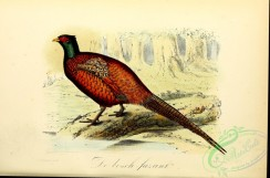peacocks_and_pheasants-00095 - Common Pheasant or Ring-necked Pheasant