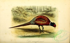 peacocks_and_pheasants-00099 - Ring-necked Pheasant