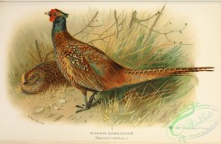 peacocks_and_pheasants-00208 - Common or Green Pheasant, phasianus colchicus