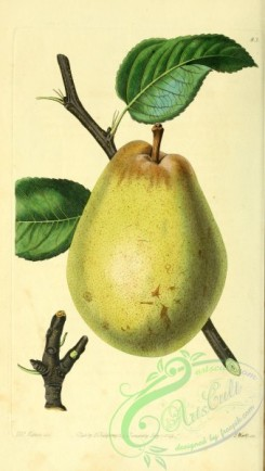 pear-00002 - Beurre D'Aremberg Pear [2088x3685]