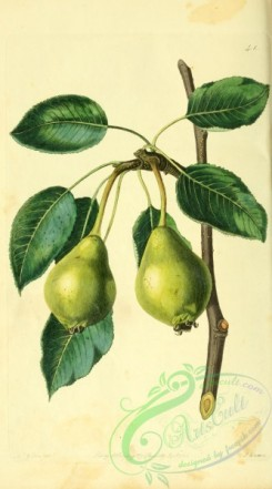 pear-00020 - Long-stalked Blanquet Pear [2066x3718]