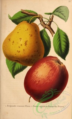 pear-00198 - Pear, Apple [2862x4676]