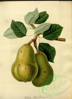 pear-00456 - Williams Bon Chretien Pear [3083x4211]