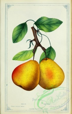 pear-00488 - Pear - Seckel [2716x4297]