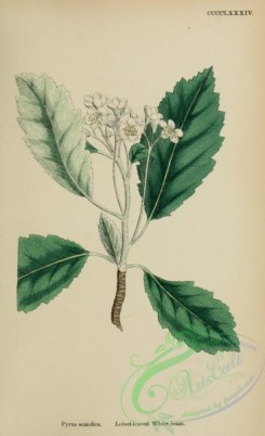 pear-01140 - Lobed-leaved White-beam, pyrus scandica