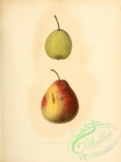 pear-01166 - Washington Pear, Flemish Beauty Pear