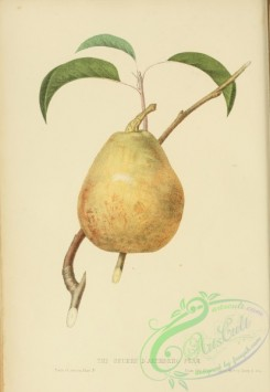 pear-01280 - Beurre d'Aremberg Pear