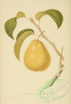 pear-01301 - Golden Beune of Bilboa Pear
