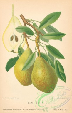 pear-01442 - 039-Pear Marie Luise (Ger)
