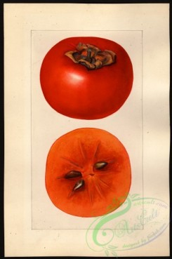 persimmon-00048 - 1224-Diospyros-Godbeys Seedless [2659x4000]