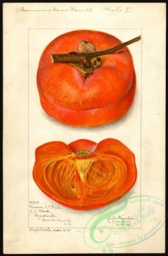 persimmon-00083 - 3825-Diospyros-Chinese [2634x4000]