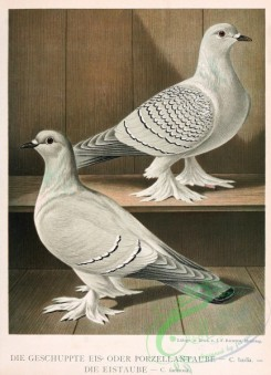 pigeons-00004 - 004-Mountain Imperial-Pigeon, columba farinosa [2239x3100]