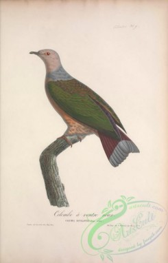 pigeons-00190 - 009-Purple-tailed Imperial-Pigeon, columba rufigaster