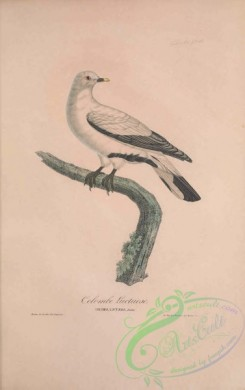 pigeons-00221 - 040-White Imperial-Pigeon, columba luctuosa