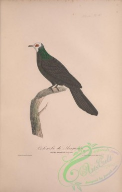 pigeons-00227 - 046-White-faced Cuckoo-Dove, columba manadensis