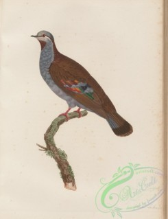 pigeons-00274 - 033-Brush Bronzewing, columba elegans
